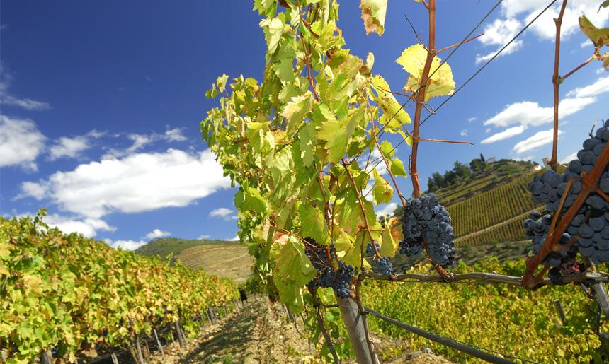Nejběžnější odrůdy používané na výrobu portských vín