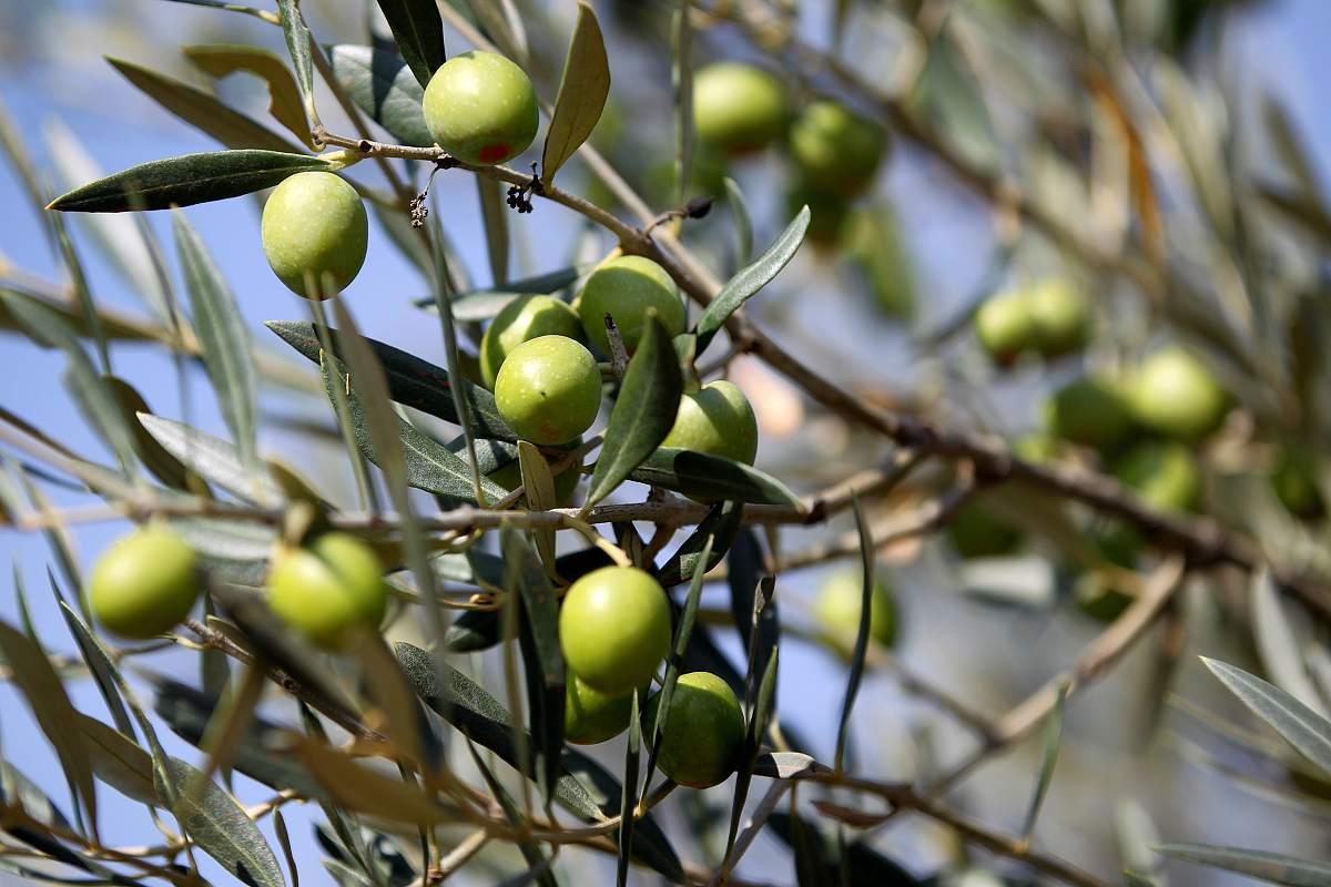 Olivové oleje - sklizeň, výroba a další zajímavosti