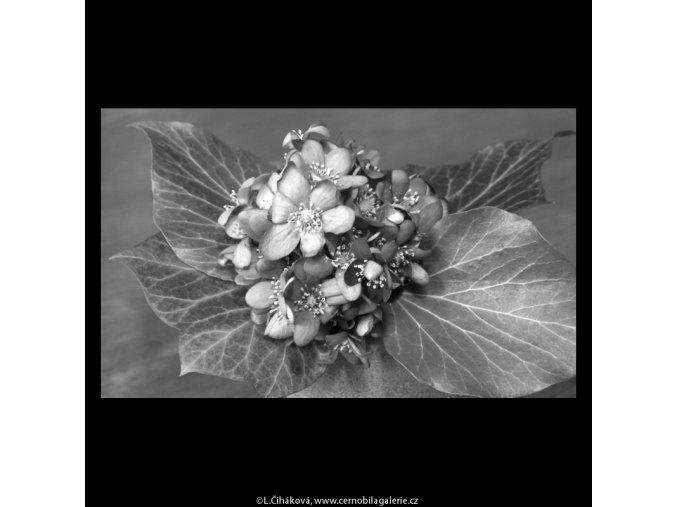 Kytička (5217-1), žánry - Praha 1967 březen, černobílý obraz, stará fotografie, prodej