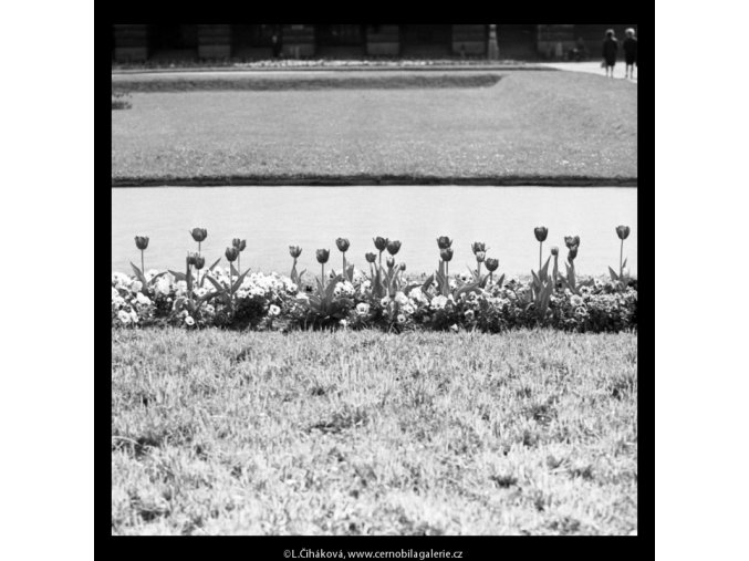 Záhon tulipánů (5282-2), žánry - Praha 1967 duben, černobílý obraz, stará fotografie, prodej