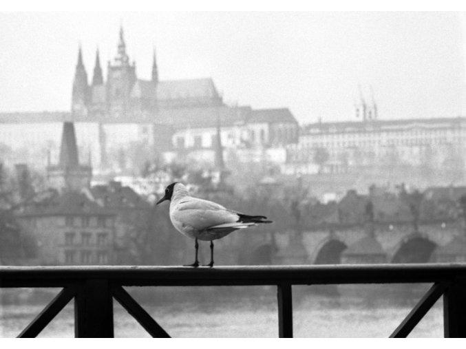Racek na zábradlí (2073-1), žánry - Praha 1963 duben, černobílý obraz, stará fotografie, prodej
