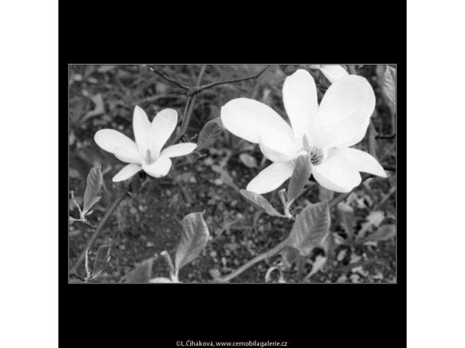 Bílé květy (2183-5), Praha 1963 květen, černobílý obraz, stará fotografie, prodej