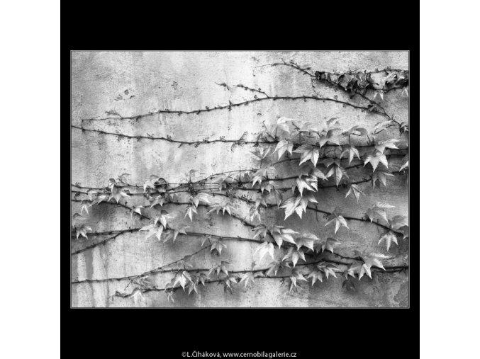 Popínavé listí na zdi (2184-1), Praha 1963 květen, černobílý obraz, stará fotografie, prodej