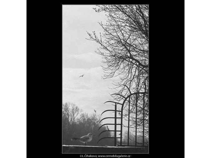 Racek na zídce (3494-2), žánry - Praha 1965 únor, černobílý obraz, stará fotografie, prodej