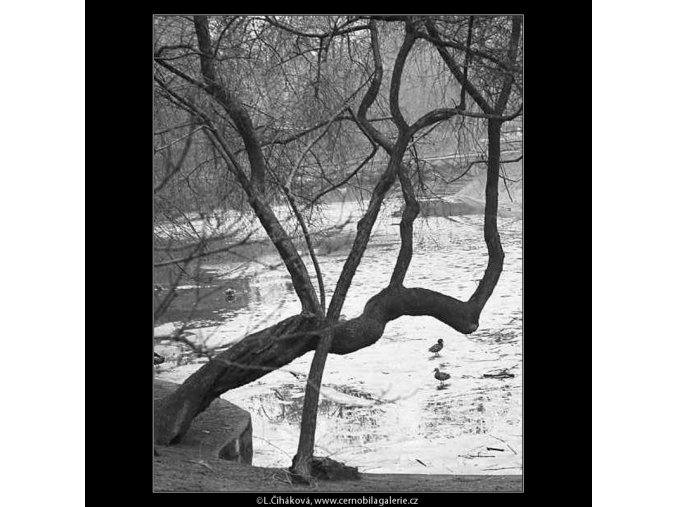 Kačeny na jezírku (3580-2), žánry - Praha 1965 březen, černobílý obraz, stará fotografie, prodej
