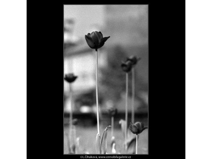 Tulipány (4508-2), žánry - Praha 1966 květen, černobílý obraz, stará fotografie, prodej