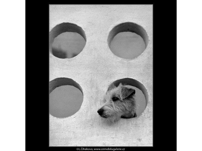 Pes na balkóně (4811-3), žánry - Praha 1966 srpen, černobílý obraz, stará fotografie, prodej