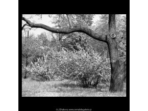 Kvetoucí keř (5264-1), žánry - Praha 1967 duben, černobílý obraz, stará fotografie, prodej