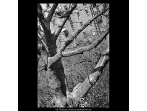 Kmen stromu (5232-2), žánry - Praha 1967 duben, černobílý obraz, stará fotografie, prodej