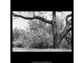 Kvetoucí keř (5264-2), žánry - Praha 1967 duben, černobílý obraz, stará fotografie, prodej