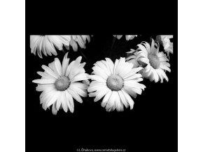 Kopretiny (5429-2), žánry - Praha 1967 červenec, černobílý obraz, stará fotografie, prodej