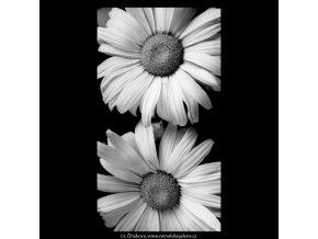 Kopretiny (5429-1), žánry - Praha 1967 červenec, černobílý obraz, stará fotografie, prodej