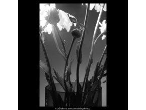 Stvoly kopretin ve váze (5428-2), žánry - Praha 1967 červenec, černobílý obraz, stará fotografie, prodej