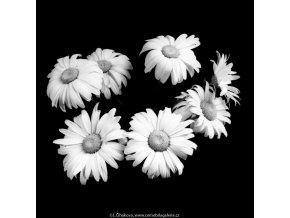 Kopretiny (5429-3), žánry - Praha 1967 červenec, černobílý obraz, stará fotografie, prodej