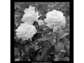Květiny (5452-4), žánry - Praha 1967 srpen, černobílý obraz, stará fotografie, prodej