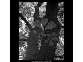 Podzimní listy (5684), žánry - Praha 1967 říjen, černobílý obraz, stará fotografie, prodej