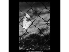 List na mřížoví (5685), žánry - Praha 1967 říjen, černobílý obraz, stará fotografie, prodej