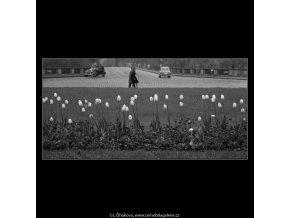 Záhon tulipánů (1631), žánry - Praha 1962 květen, černobílý obraz, stará fotografie, prodej