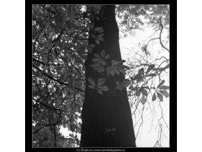 Kmen a kaštanové listí (1857), žánry - Praha 1962 říjen, černobílý obraz, stará fotografie, prodej
