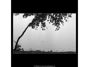 Stromek na břehu (1859-3), žánry - Praha 1962 říjen, černobílý obraz, stará fotografie, prodej