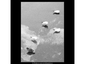 Rackové na ledě (1949), žánry - Praha 1963 leden, černobílý obraz, stará fotografie, prodej