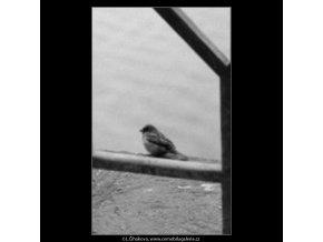 Vrabčák u zábradlí (1987), žánry - Praha 1963 leden, černobílý obraz, stará fotografie, prodej