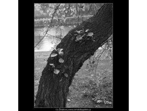 Kmen s výhony (2189), žánry - Praha 1963 květen, černobílý obraz, stará fotografie, prodej
