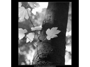 Kmen stromu s listy (2237-1), žánry - Praha 1963 červen, černobílý obraz, stará fotografie, prodej