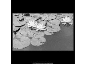 Lekníny v jezírku (2243-1), žánry - Praha 1963 červen, černobílý obraz, stará fotografie, prodej