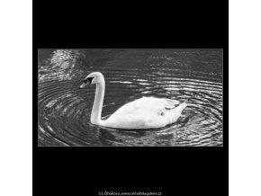 Labuť v jezírku (2243-6), žánry - Praha 1963 červen, černobílý obraz, stará fotografie, prodej