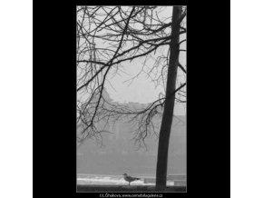 Rackové na Kampě (2701-2), žánry - Praha 1964 únor, černobílý obraz, stará fotografie, prodej