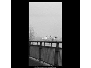 Rackové na zábradlí (2715-2), žánry - Praha 1964 únor, černobílý obraz, stará fotografie, prodej