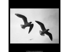 Dva rackové v letu (2750-2), žánry - Praha 1964 březen, černobílý obraz, stará fotografie, prodej