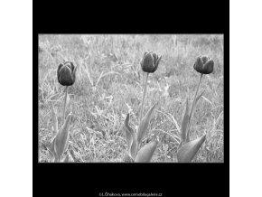 Tulipány (2918-2), žánry - Praha 1964 květen, černobílý obraz, stará fotografie, prodej