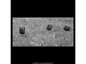 Tulipány (2918-3), žánry - Praha 1964 květen, černobílý obraz, stará fotografie, prodej