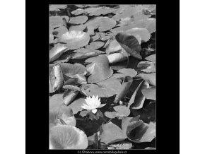 Leknín (3101), žánry - Praha 1964 srpen, černobílý obraz, stará fotografie, prodej