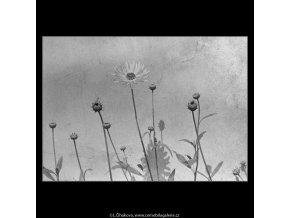 Kopretiny (3136), žánry - Praha 1964 srpen, černobílý obraz, stará fotografie, prodej