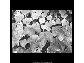 Podzimní listí (3268-3), žánry - Praha 1964 říjen, černobílý obraz, stará fotografie, prodej