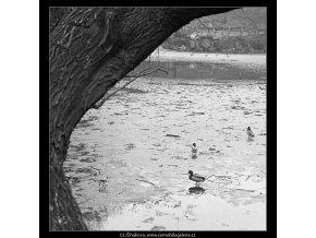 Kačeny na jezírku (3580-3), žánry - Praha 1965 březen, černobílý obraz, stará fotografie, prodej