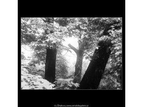 Tři stromy (3695), žánry - Praha 1965 květen, černobílý obraz, stará fotografie, prodej