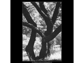 Strom (3963), žánry - Praha 1965 září, černobílý obraz, stará fotografie, prodej