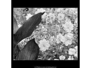 Květiny (4041-1), žánry - Praha 1965 září, černobílý obraz, stará fotografie, prodej
