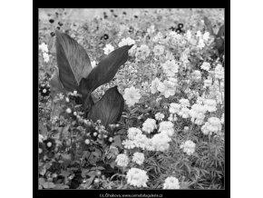 Květiny (4041-2), žánry - Praha 1965 září, černobílý obraz, stará fotografie, prodej