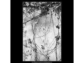 Zeď a větvičky (4045), žánry - Praha 1965 září, černobílý obraz, stará fotografie, prodej