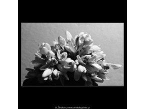 Sněženky (4316), žánry - Praha 1966 únor, černobílý obraz, stará fotografie, prodej