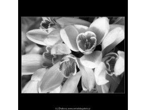 Sněženky (4342-4), žánry - Praha 1966 únor, černobílý obraz, stará fotografie, prodej