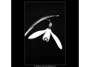 Sněženky (4374-2), žánry - Praha 1966 březen, černobílý obraz, stará fotografie, prodej