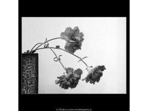 Karafiáty ve váze (4375-2), žánry - Praha 1966 březen, černobílý obraz, stará fotografie, prodej