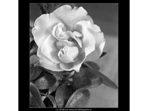 Květ azalky (4442-1), žánry - Praha 1966 duben, černobílý obraz, stará fotografie, prodej