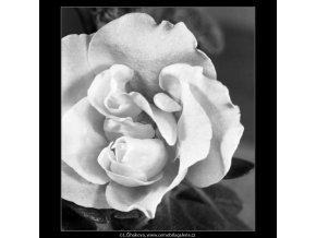 Květ azalky (4442-2), žánry - Praha 1966 duben, černobílý obraz, stará fotografie, prodej